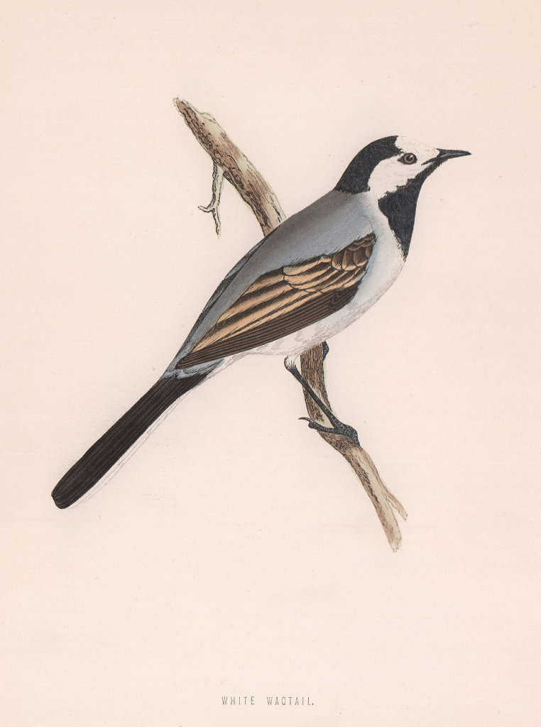 White Wagtail. Morris's British Birds. Antique colour print 1870 old