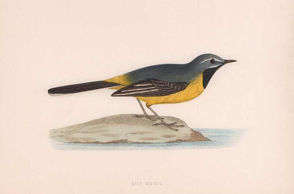 Grey Wagtail. Morris's British Birds. Antique colour print 1870 old