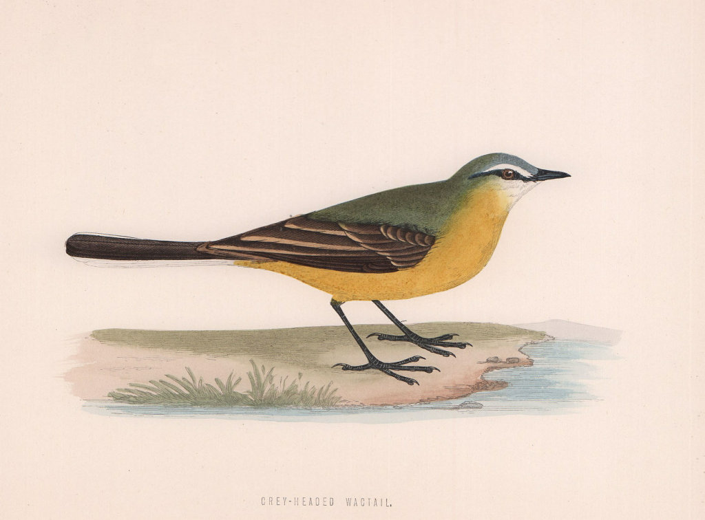 Grey-Headed Wagtail. Morris's British Birds. Antique colour print 1870