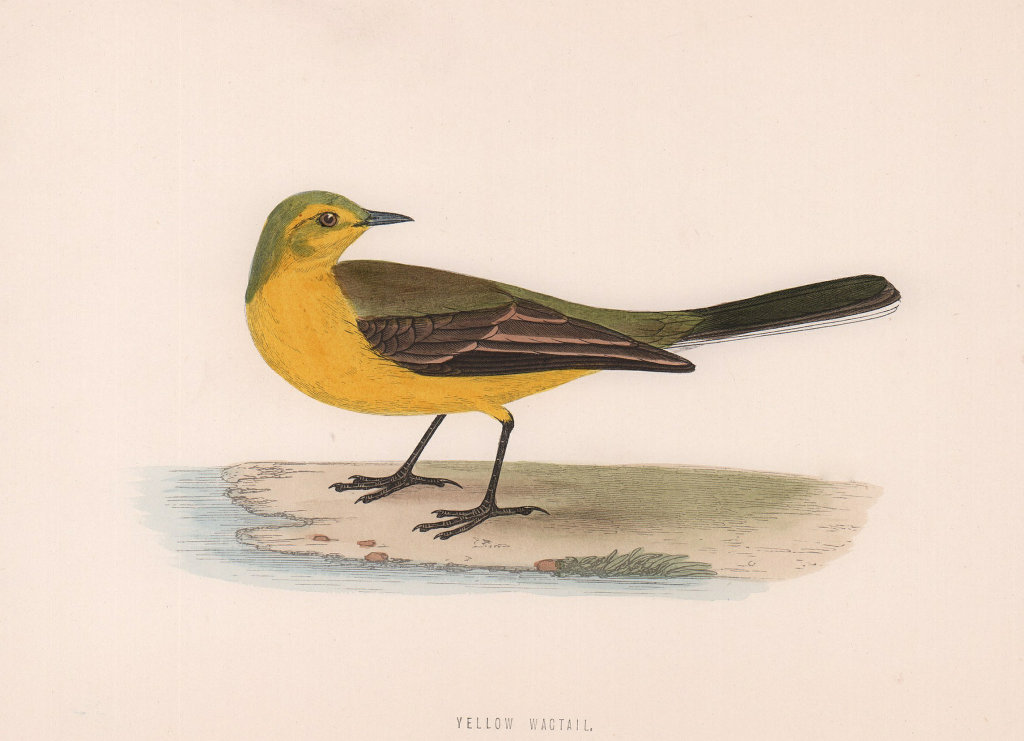 Yellow Wagtail. Morris's British Birds. Antique colour print 1870 old