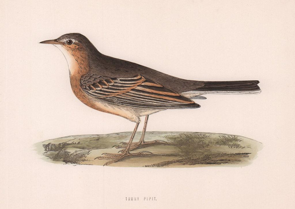 Tawny Pipit. Morris's British Birds. Antique colour print 1870 old
