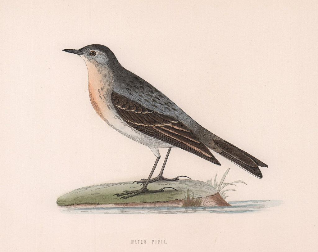 Water Pipit. Morris's British Birds. Antique colour print 1870 old