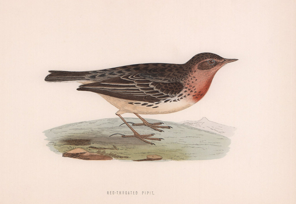 Red-Throated Pipit. Morris's British Birds. Antique colour print 1870