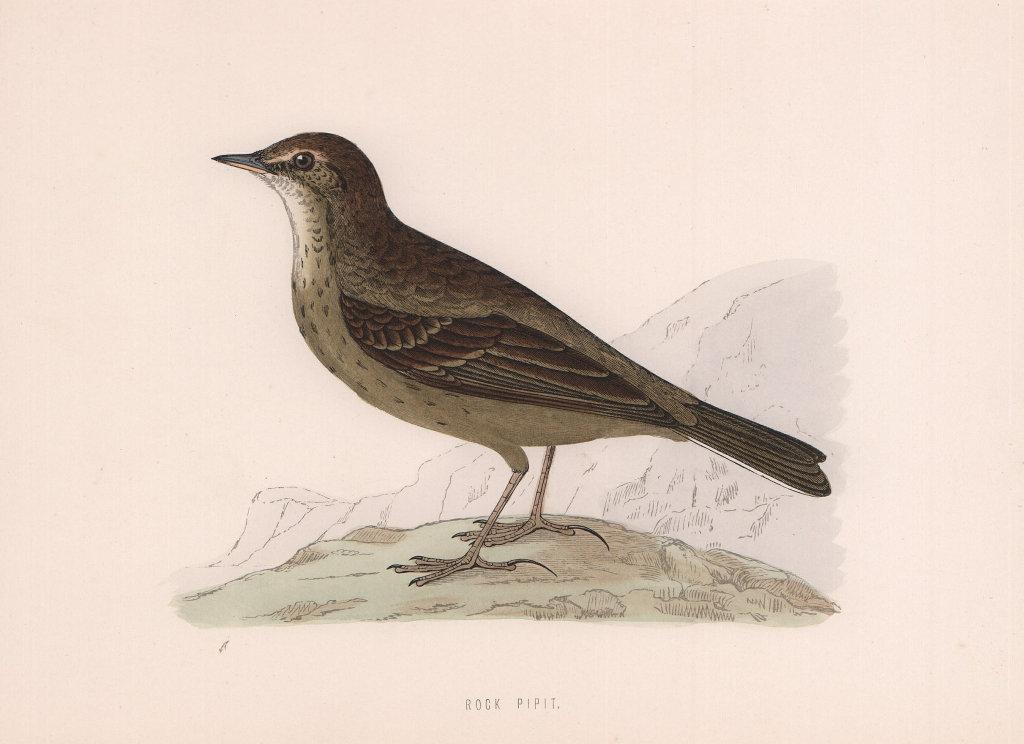 Rock Pipit. Morris's British Birds. Antique colour print 1870 old