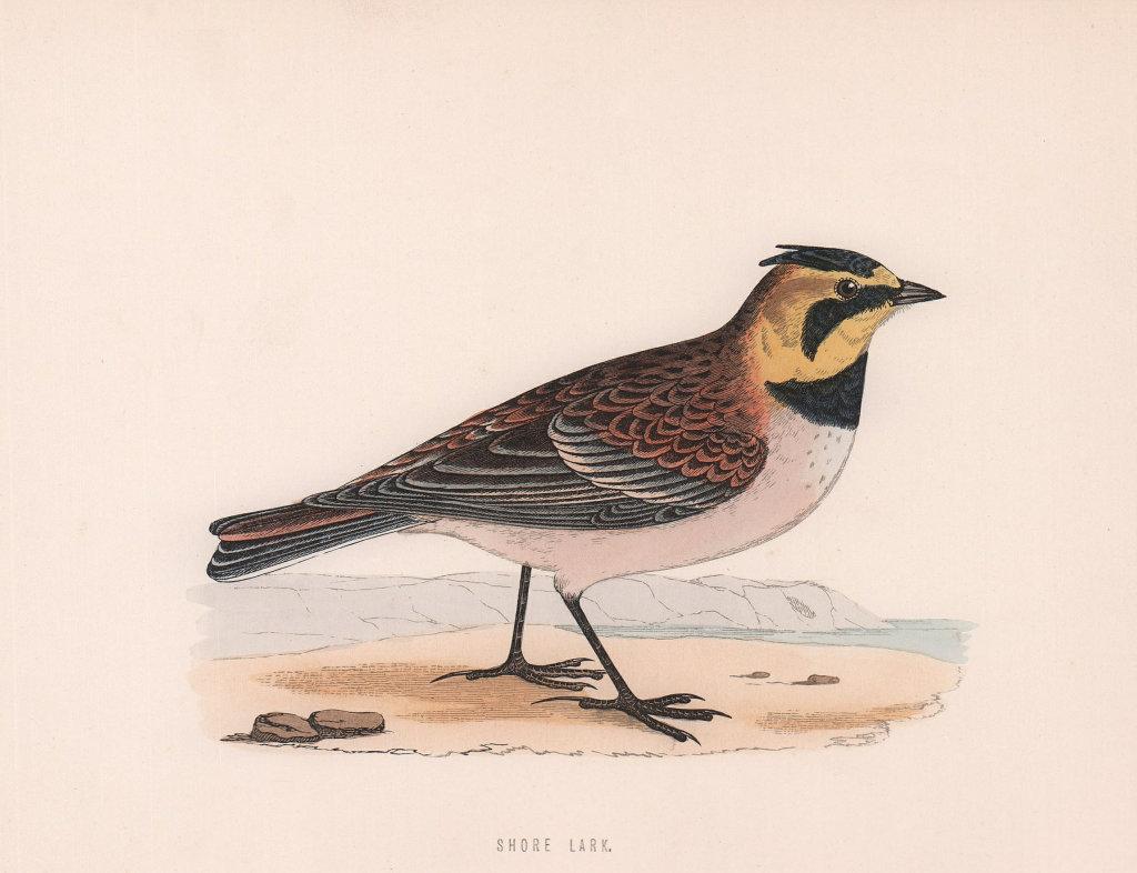 Shore Lark. Morris's British Birds. Antique colour print 1870 old