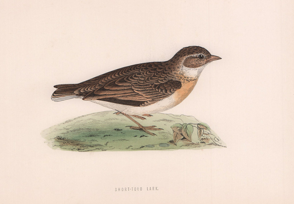 Short-toed Lark. Morris's British Birds. Antique colour print 1870 old