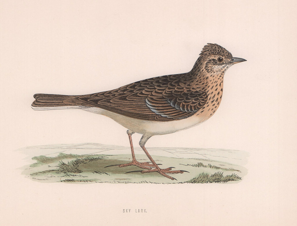 Sky Lark. Morris's British Birds. Antique colour print 1870 old
