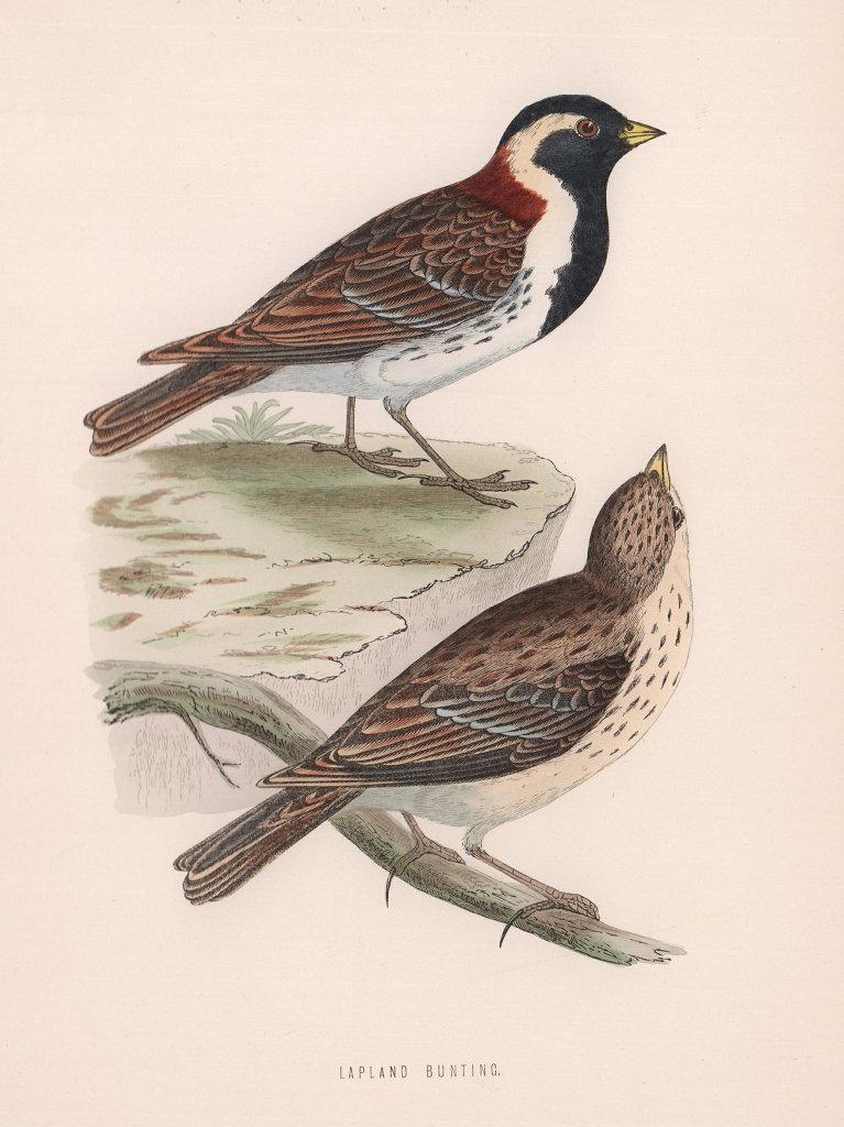 Lapland Bunting. Morris's British Birds. Antique colour print 1870 old