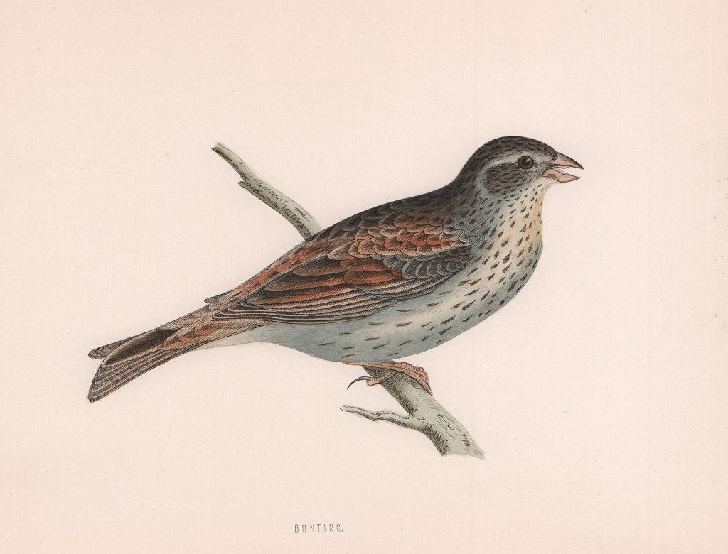 Bunting. Morris's British Birds. Antique colour print 1870 old
