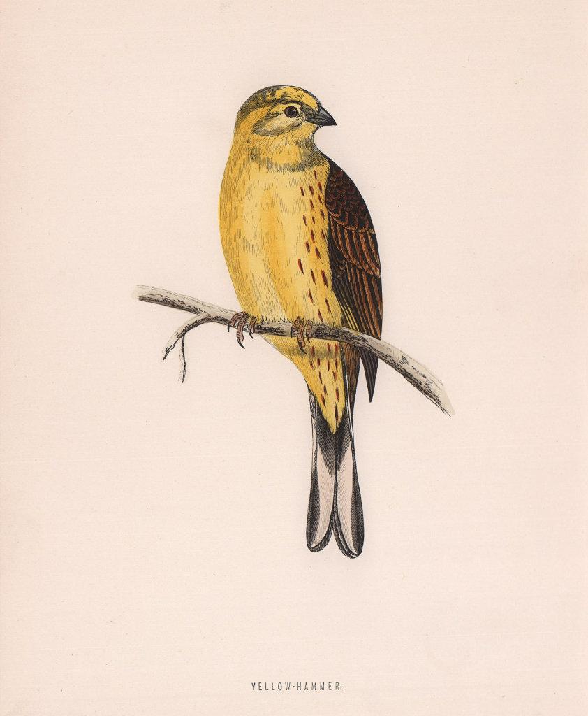 Yellow-Hammer. Morris's British Birds. Antique colour print 1870 old