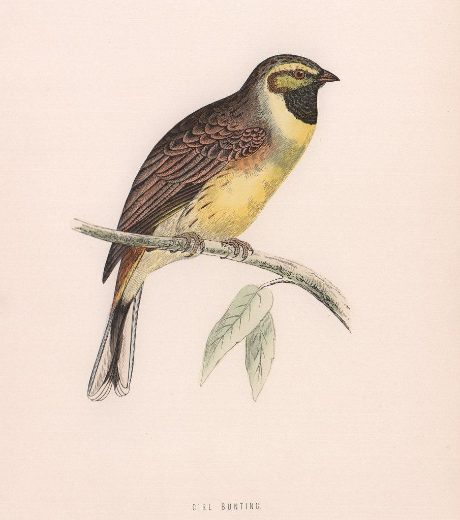 Cirl Bunting. Morris's British Birds. Antique colour print 1870 old