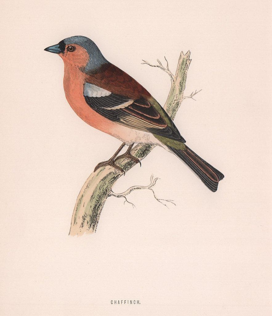 Chaffinch. Morris's British Birds. Antique colour print 1870 old