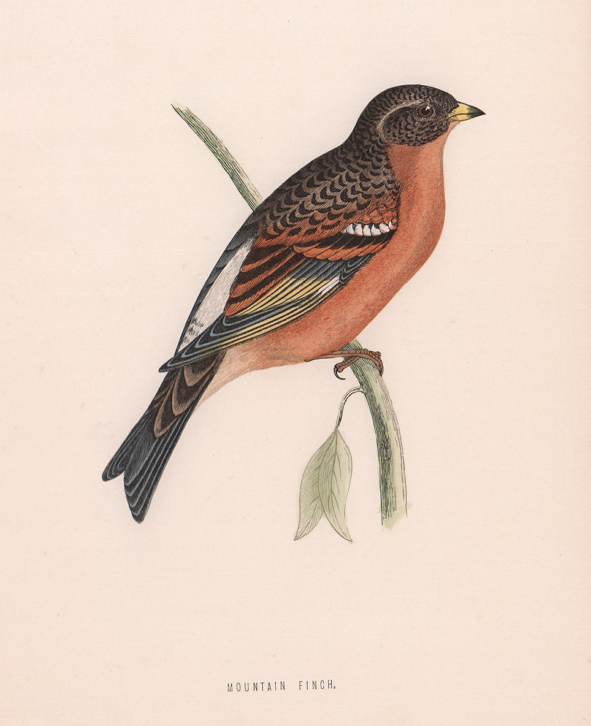 Mountain Finch. Morris's British Birds. Antique colour print 1870 old
