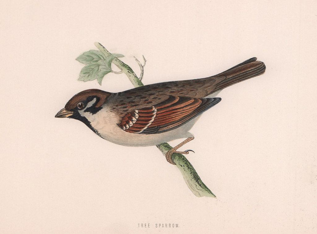 Tree Sparrow. Morris's British Birds. Antique colour print 1870 old