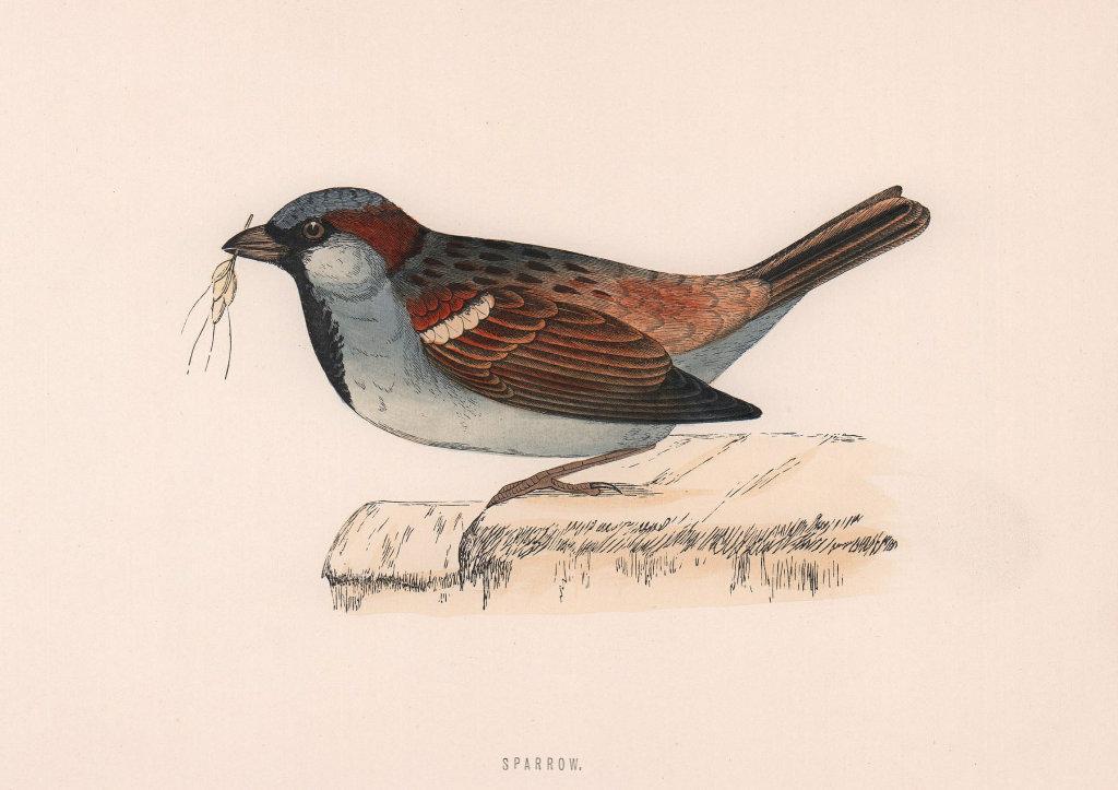 Sparrow. Morris's British Birds. Antique colour print 1870 old