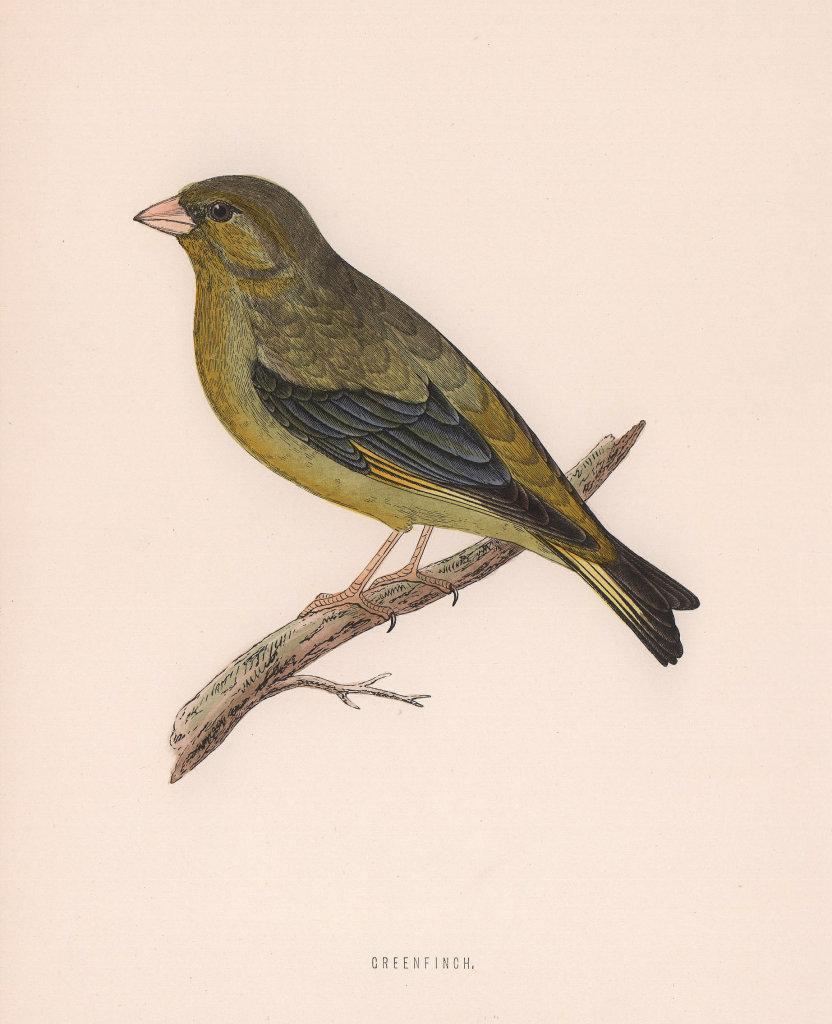 Greenfinch. Morris's British Birds. Antique colour print 1870 old