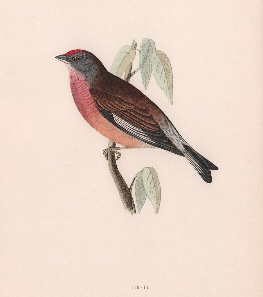 Linnet. Morris's British Birds. Antique colour print 1870 old