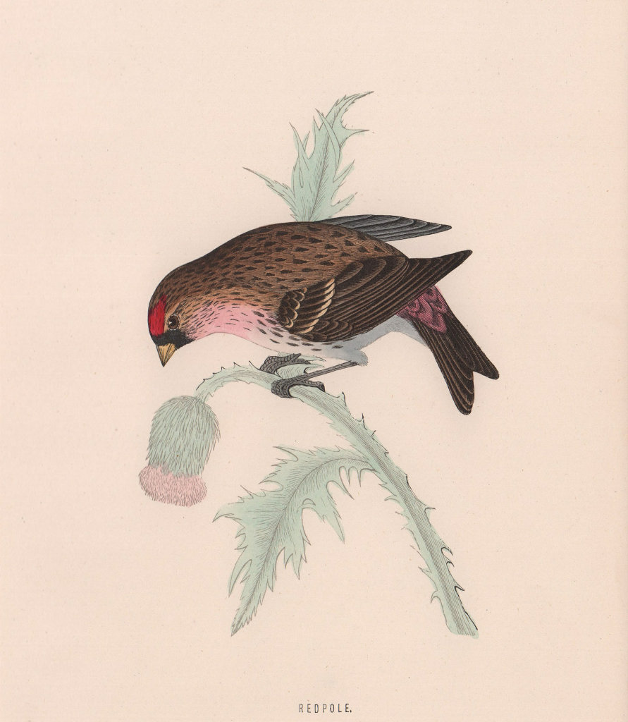 Redpole. Morris's British Birds. Antique colour print 1870 old