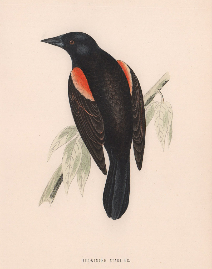 Red-winged Starling. Morris's British Birds. Antique colour print 1870
