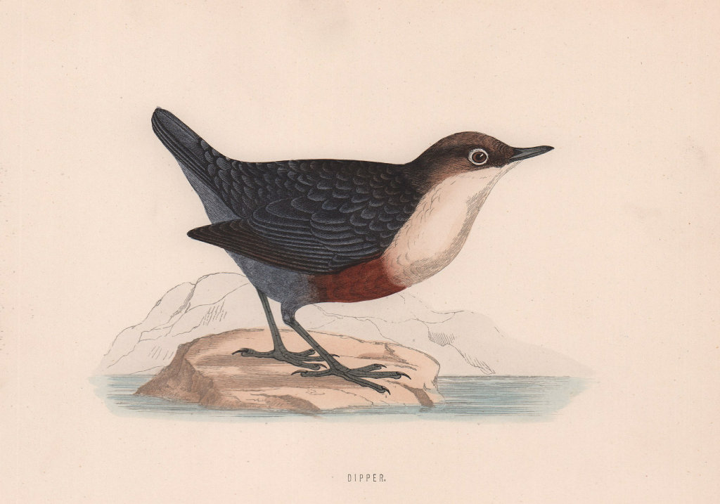 Dipper. Morris's British Birds. Antique colour print 1870 old