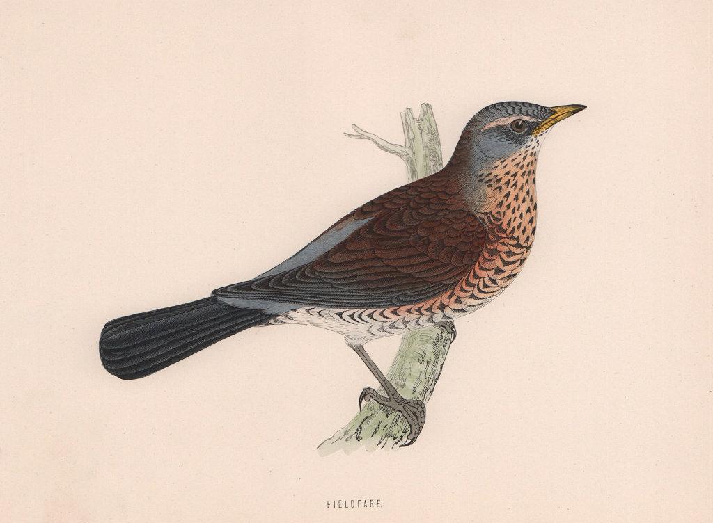 Fieldfare. Morris's British Birds. Antique colour print 1870 old