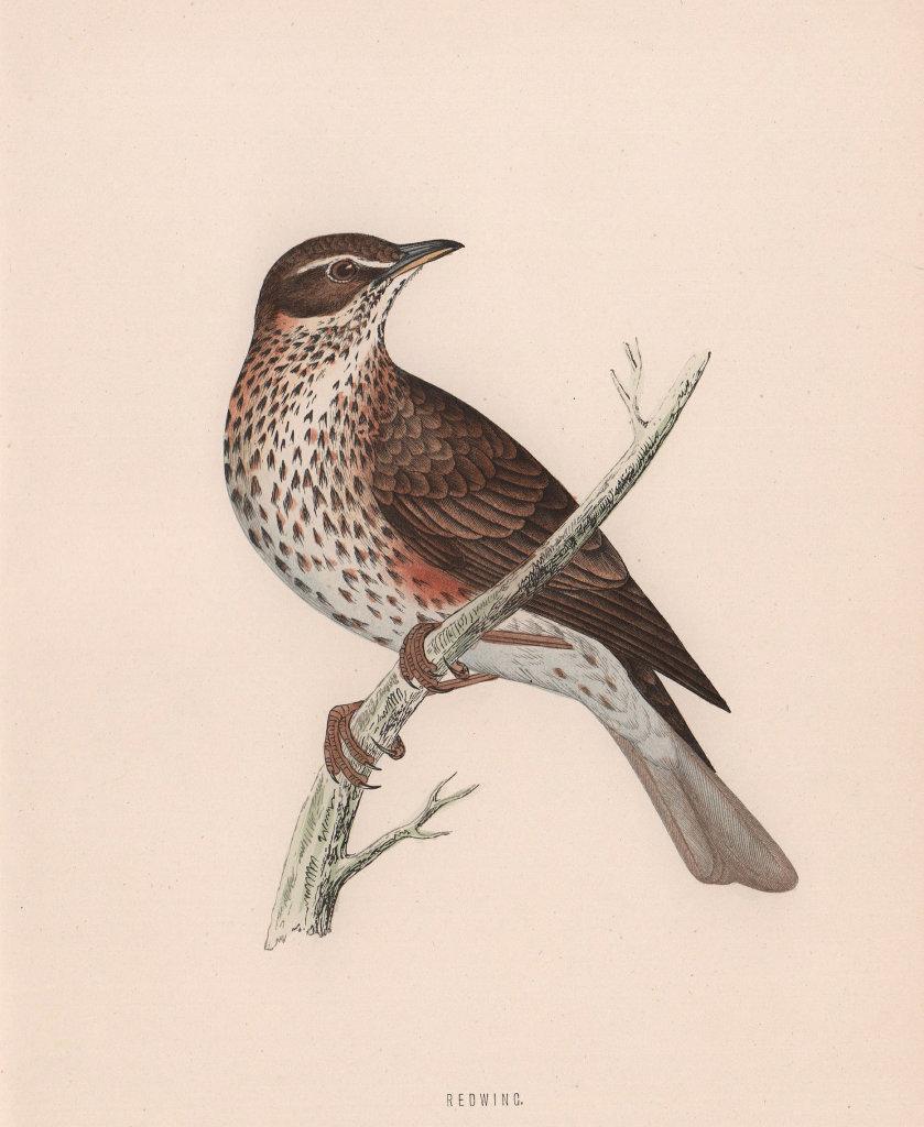 Redwing. Morris's British Birds. Antique colour print 1870 old