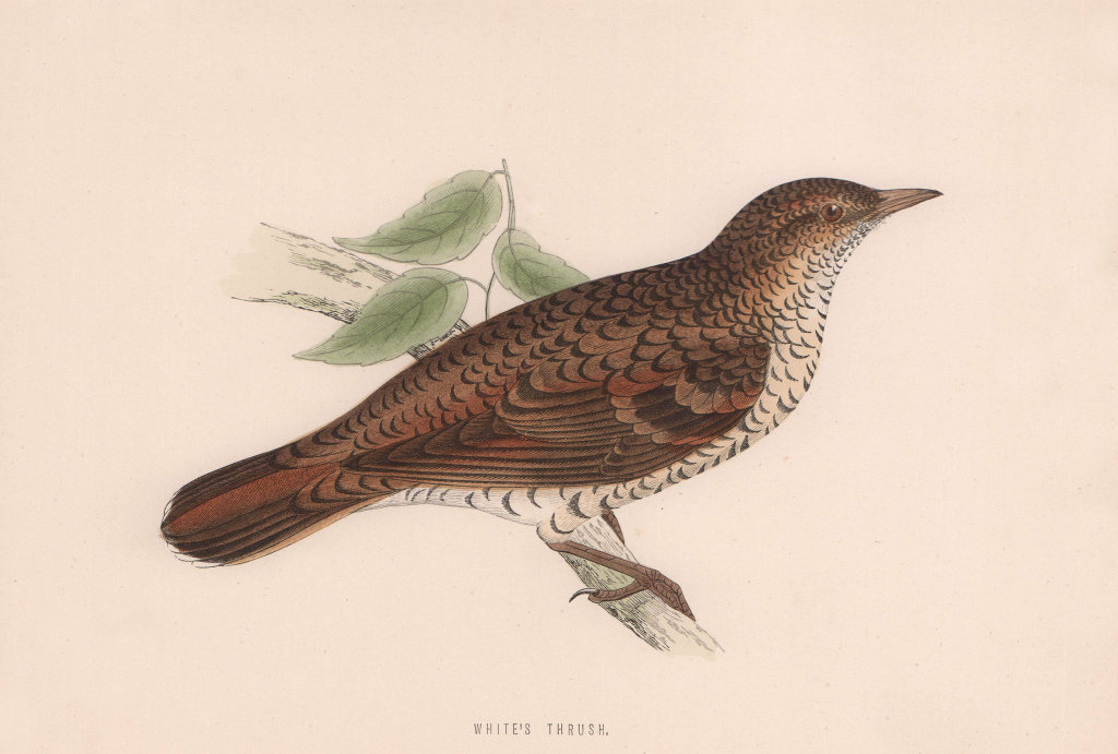 White's Thrush. Morris's British Birds. Antique colour print 1870 old