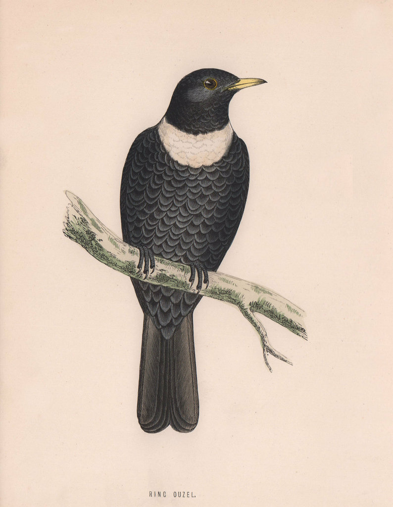 Ring Ouzel. Morris's British Birds. Antique colour print 1870 old