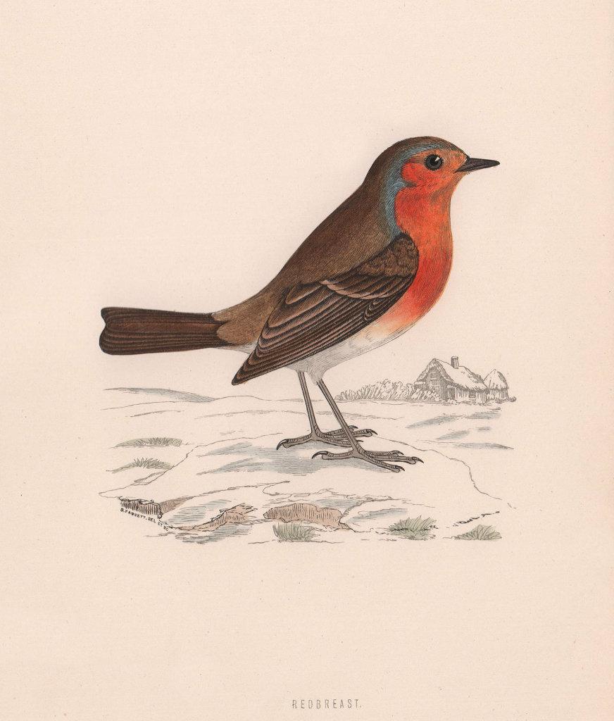 Redbreast. Morris's British Birds. Antique colour print 1870 old