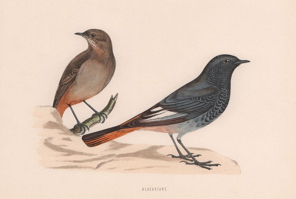 Blackstart. Morris's British Birds. Antique colour print 1870 old
