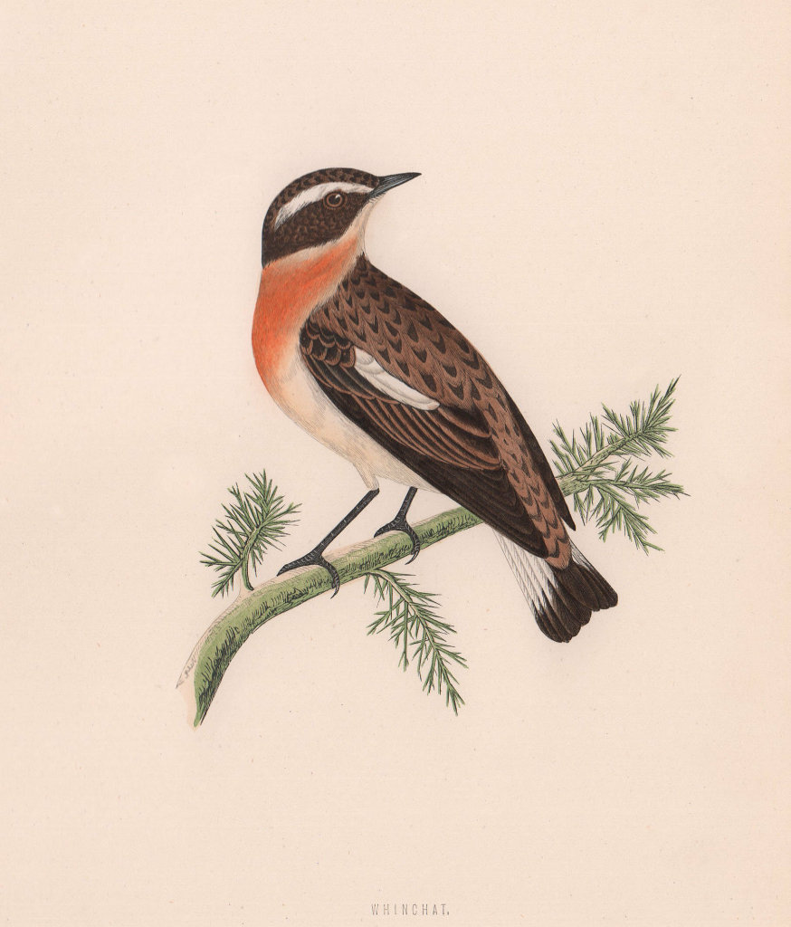 Whinchat. Morris's British Birds. Antique colour print 1870 old