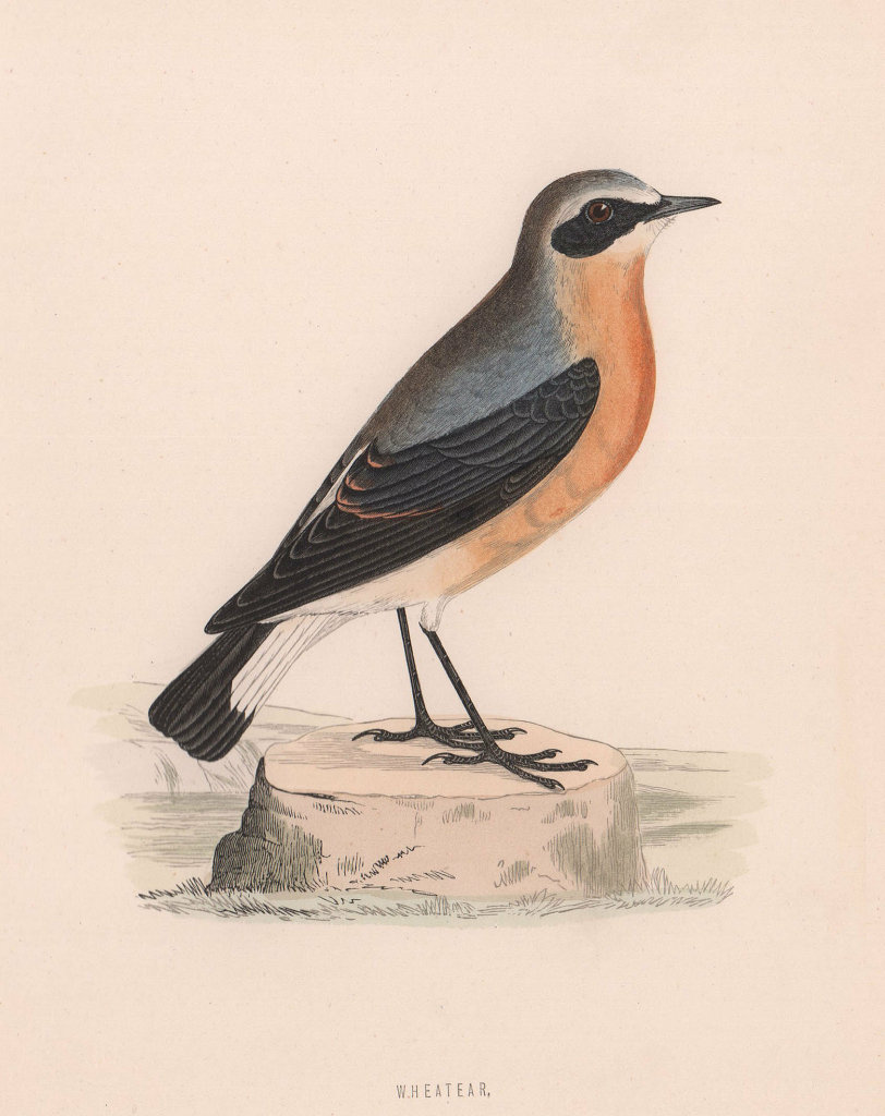 Wheatear. Morris's British Birds. Antique colour print 1870 old