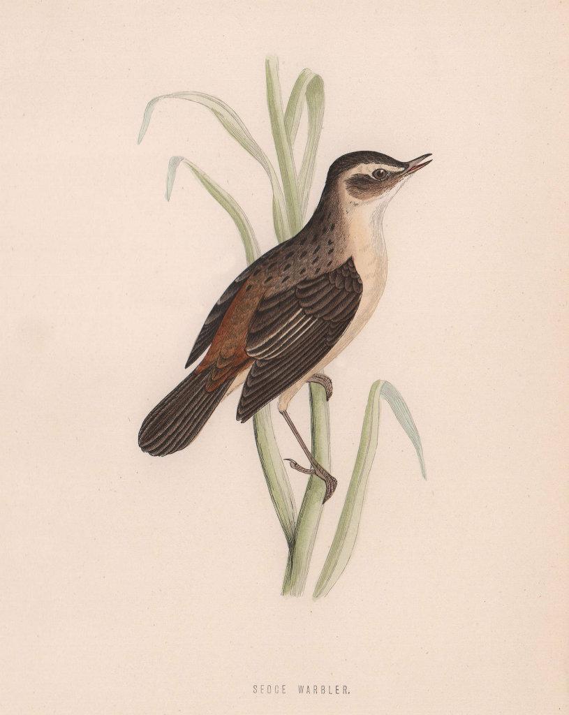 Sedge Warbler. Morris's British Birds. Antique colour print 1870 old