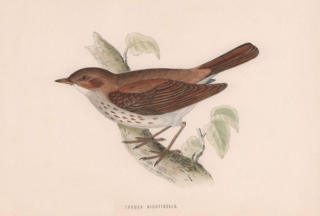 Thrush Nightingale. Morris's British Birds. Antique colour print 1870