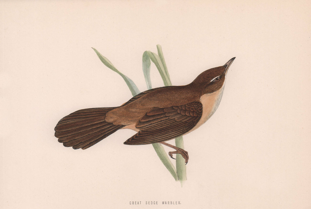 Great Sedge Warbler. Morris's British Birds. Antique colour print 1870