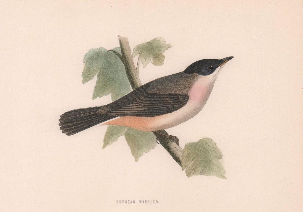 Orphean Warbler. Morris's British Birds. Antique colour print 1870 old