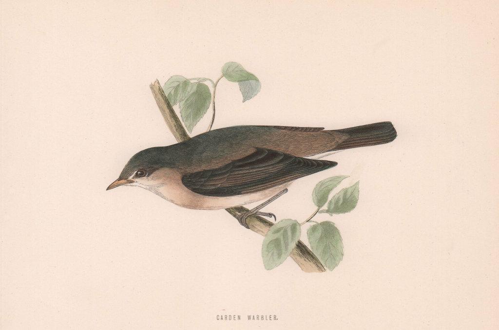 Garden Warbler. Morris's British Birds. Antique colour print 1870 old