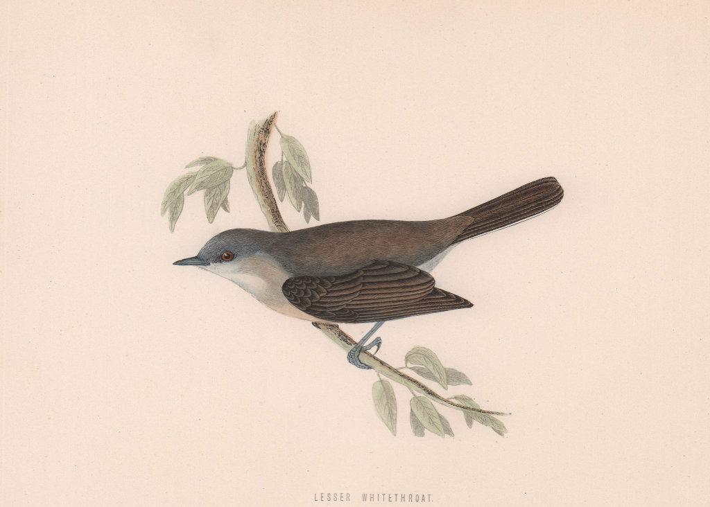 Lesser Whitethroat. Morris's British Birds. Antique colour print 1870