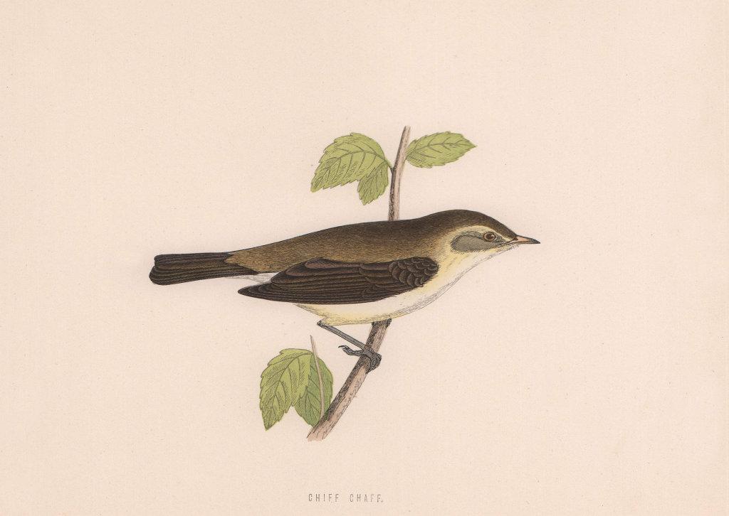 Chiff Chaff. Morris's British Birds. Antique colour print 1870 old