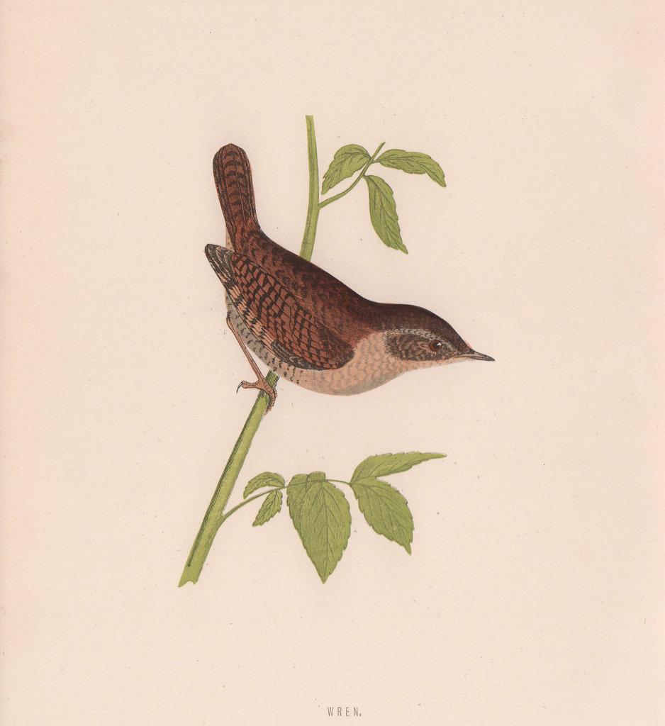 Wren. Morris's British Birds. Antique colour print 1870 old