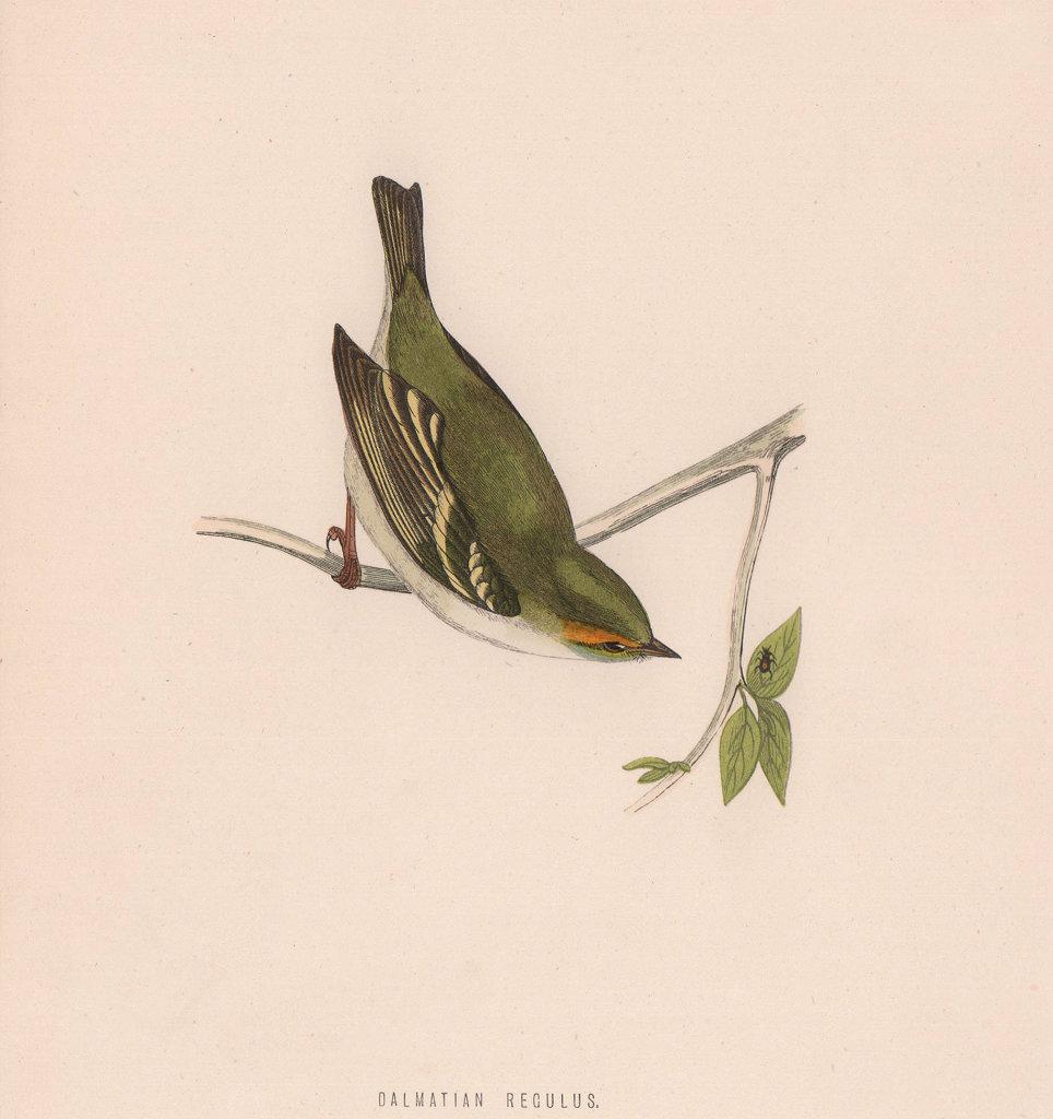 Dalmatian Regulus. Morris's British Birds. Antique colour print 1870 old