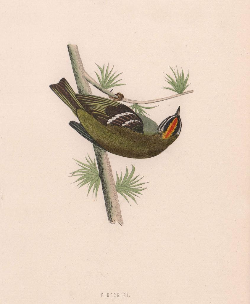 Firecrest. Morris's British Birds. Antique colour print 1870 old