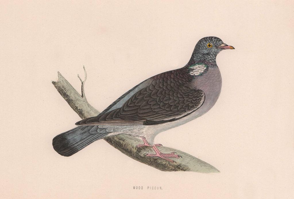 Wood Pigeon. Morris's British Birds. Antique colour print 1870 old