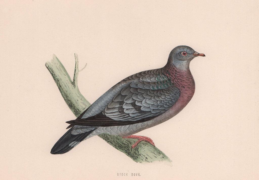 Stock Dove. Morris's British Birds. Antique colour print 1870 old