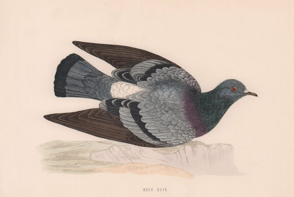 Rock Dove. Morris's British Birds. Antique colour print 1870 old