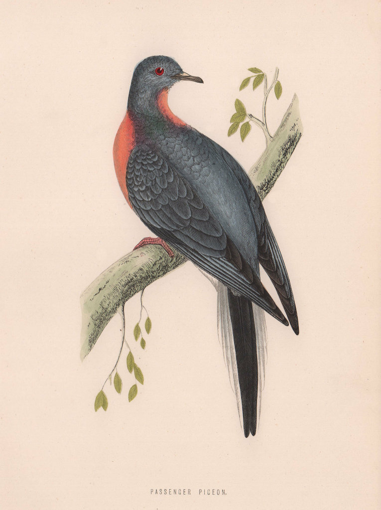 Passenger Pigeon. Morris's British Birds. Antique colour print 1870 old