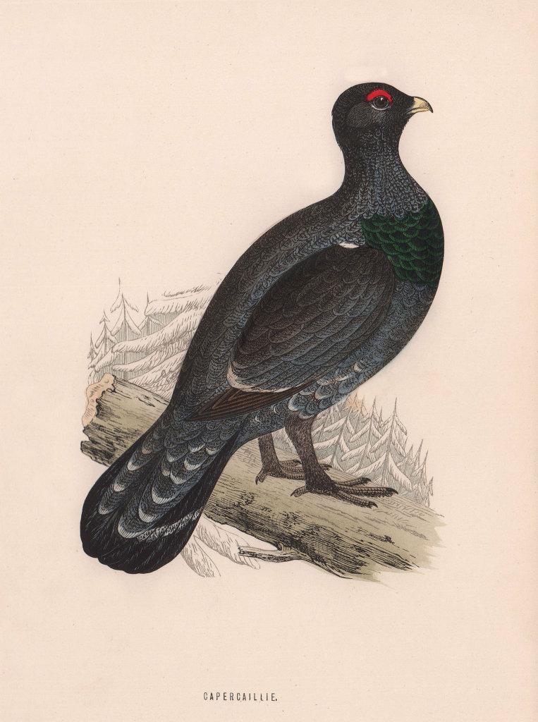 Capercaillie. Morris's British Birds. Antique colour print 1870 old