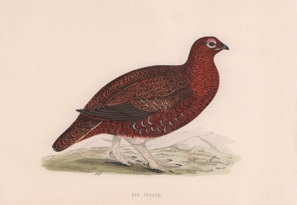 Red Grouse. Morris's British Birds. Antique colour print 1870 old
