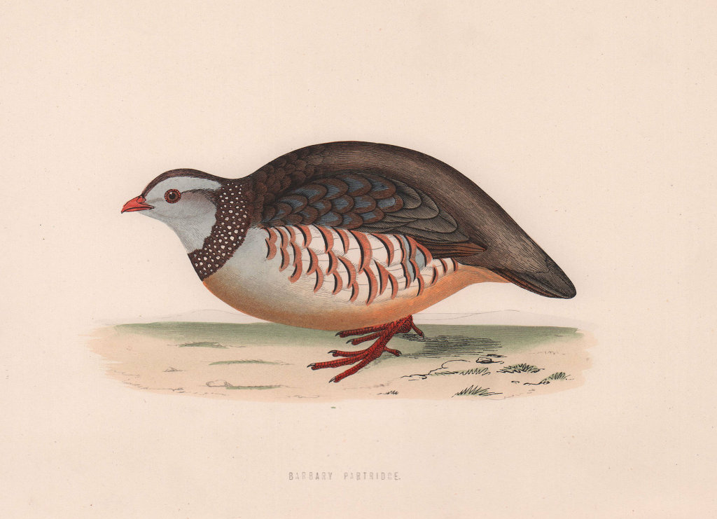 Barbary Partridge. Morris's British Birds. Antique colour print 1870 old