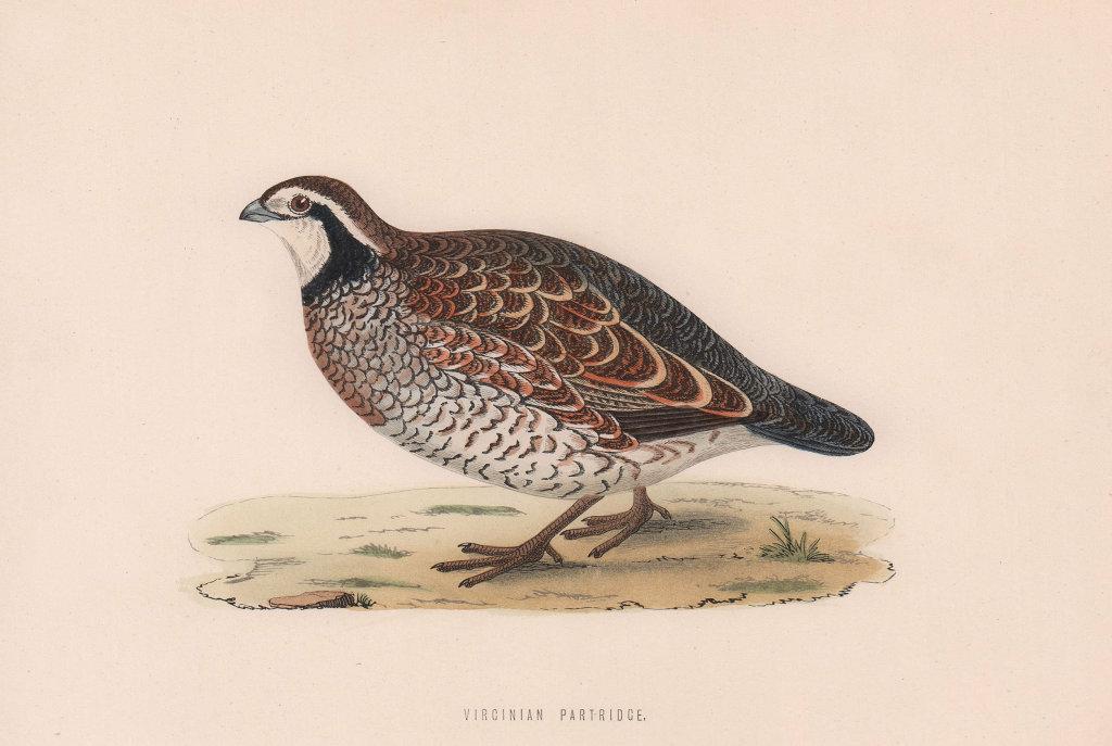 Virginian Partridge. Morris's British Birds. Antique colour print 1870